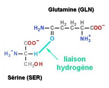 liaison hydrogene GLN SER