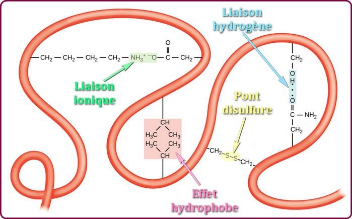 proteine liaisons de structure
