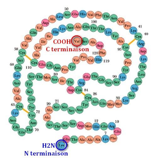 proteine chaine acides aminés 1